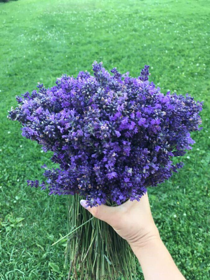 Lavandu ziedu pušķi