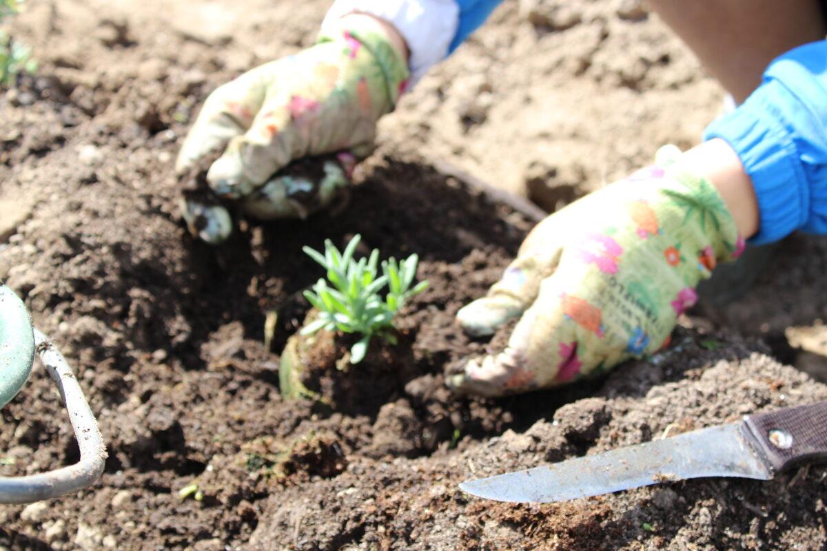 'True Lavander' (Lavandula angustifolia) ziemcietīgi stādi 4-5 mēnešu veci